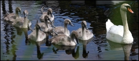 swan cavalcade stretched